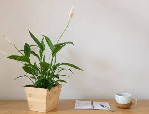 Peace Lily 1 - Pacific Garden Campus Town @Alam Sutera
